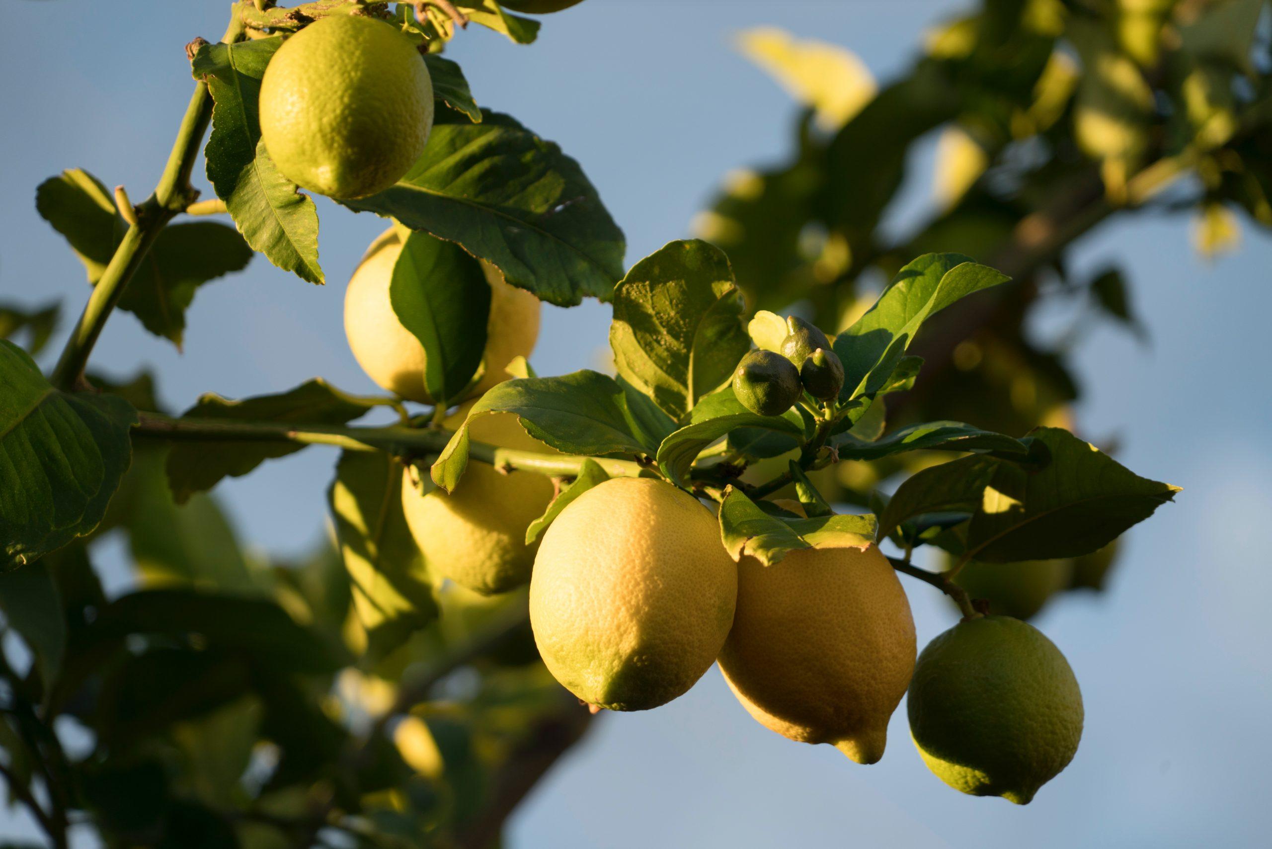 Vitamina C en el aceite esencial de limón